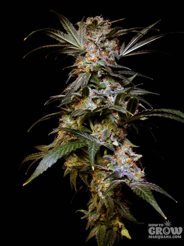 Sensi's Wildly Popular Black Domina Seeds