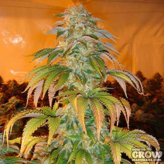 Spoetnik #1 is Pure Indica from Paradise with Broad Leaves