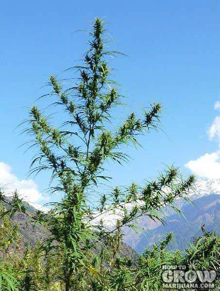 Tall and Rangy, Cannabis Sativa is Adapted to Tropical Climates