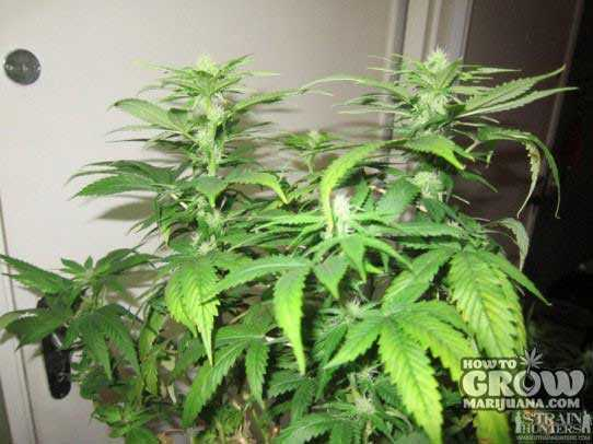 White Strawberry Skunk from Green House is a Hybrid Bred for Flavor
