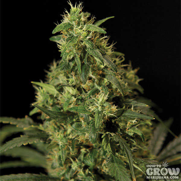 Bulldog Northern Lights Feminized Seeds