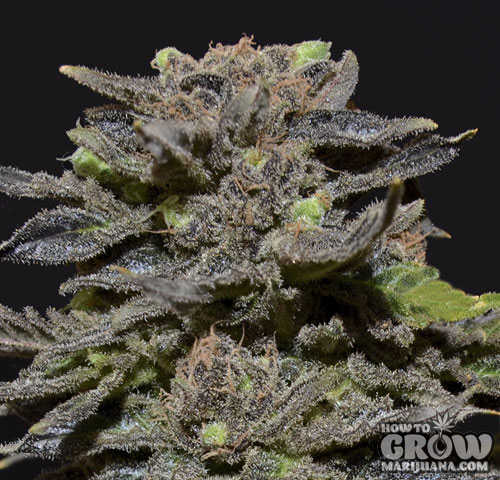 CBD Magma Feminized Seeds