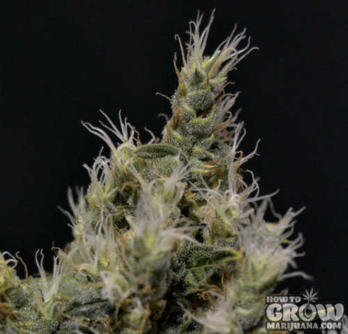 CBD Vanilla Haze Feminized Seeds