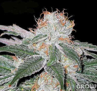 Crystal-Resin-on-White-Widow