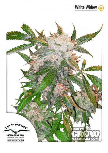Dutch Passion White Widow Feminized Seeds