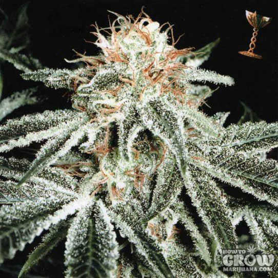 Green House Original White Widow Feminised Seeds