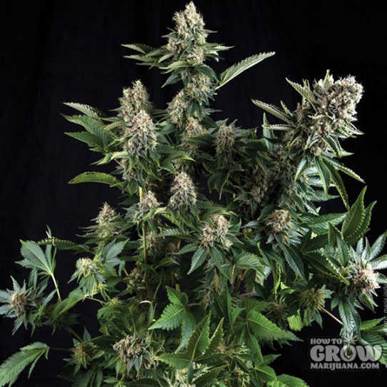 Pyramid Auto White Widow Feminized Seeds