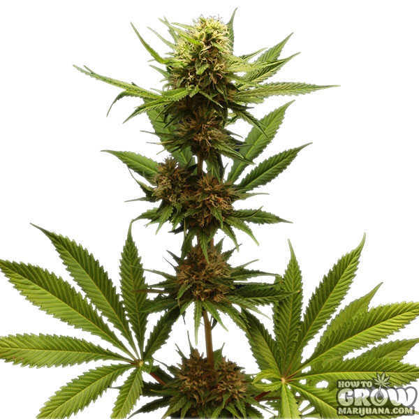 Royal Queen Northern Lights Feminized Seeds