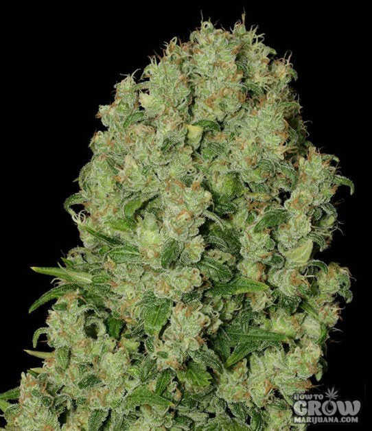 Serious White Russian Seeds