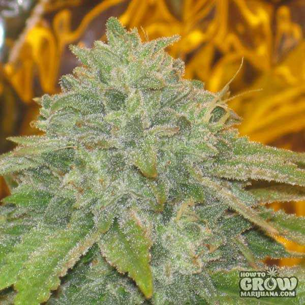 Barney's Farm LSD Feminized Seeds