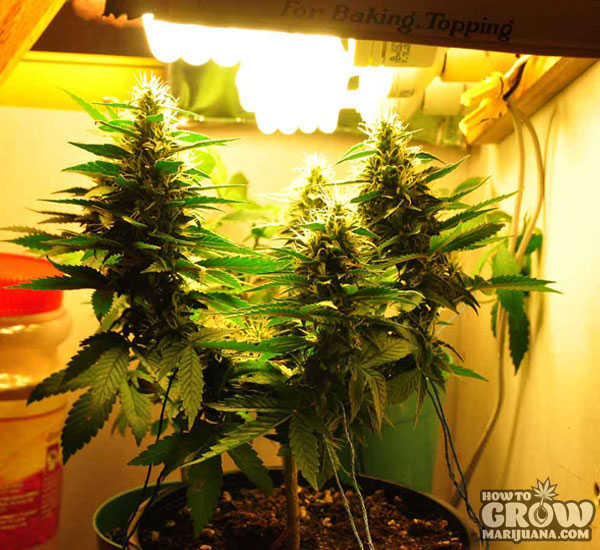Cannabis-Flowering-under-CFL-Lights