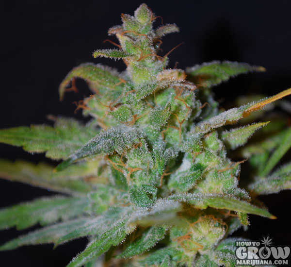 Female AK Automatic Feminized Seeds
