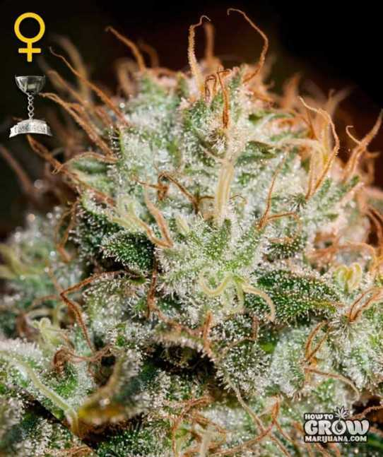 Green House Kaia Kush Feminized Seeds