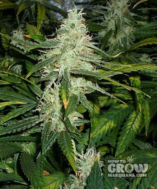 Green House Super Lemon Haze Feminized Seeds