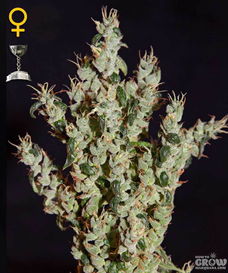 Greenhouse–NL5-Haze-Mist-Feminized-Seeds