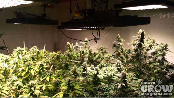 Growing-Marijuana-under-Full-Spectrum-LED-Light