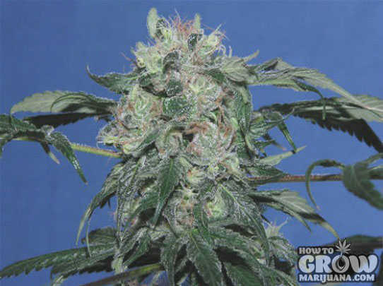 Devil's Harvest Strawberry Sour Diesel Seeds