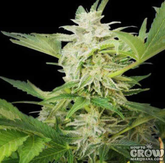 Royal Queen AK Automatic Feminized Seeds