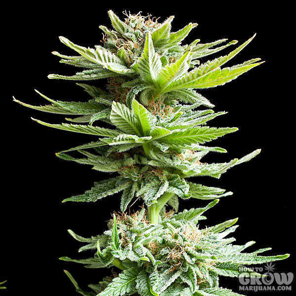 Royal Queen Shining Silver Haze Feminized Seeds