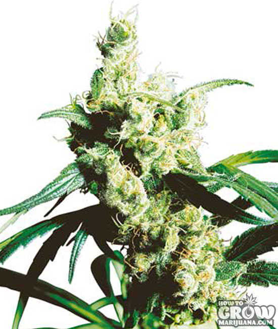 Sensi Silver Haze Feminized Seeds