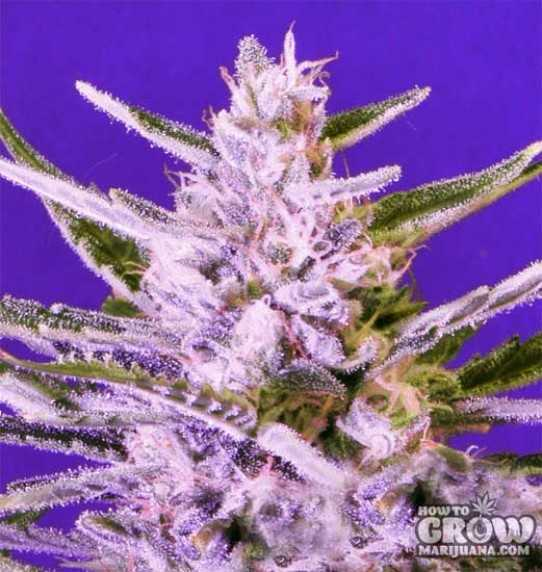 Bomb Ice Bomb Feminized Seeds