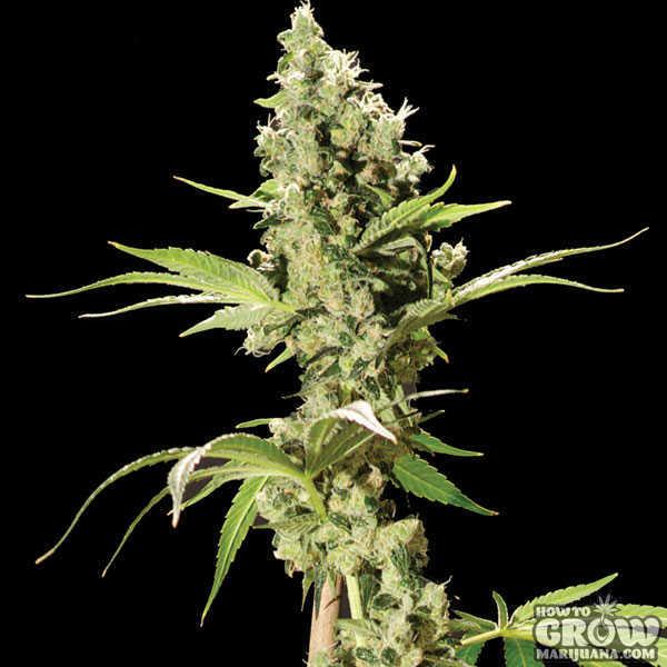 Bulldog - Sour Diesel Feminized Seeds Sour Diesel Weed Plant