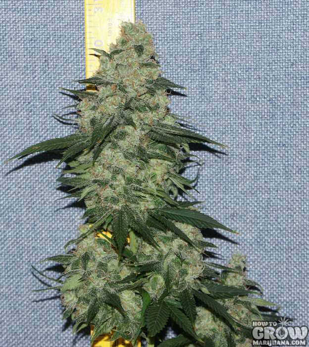 Nirvana White Rhino Feminized Seeds