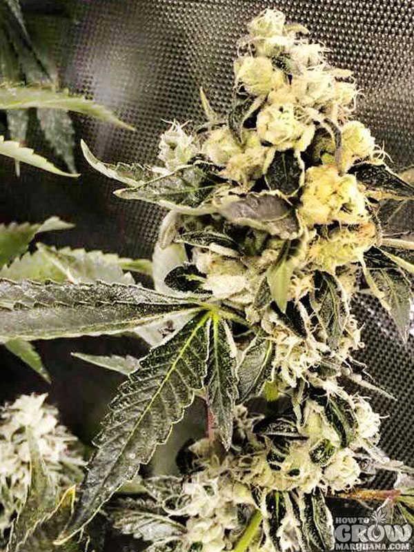Supernova grow cabinet dutch passion white widow for Hydroponics mesa az