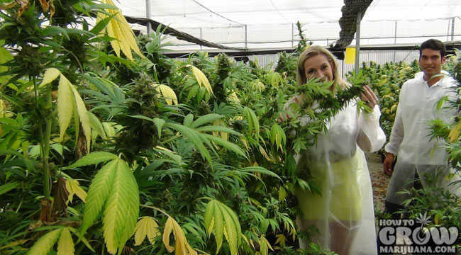 how to grow medical marihuana australia