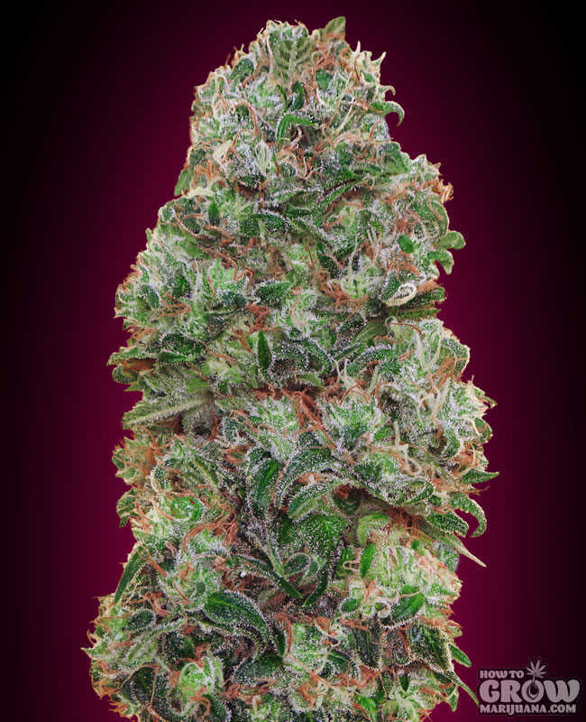 00 Seeds Bubble Gum Feminized Seeds