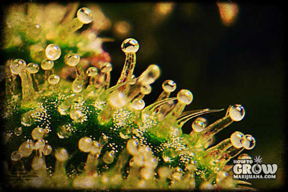 Cannabis Trichomes full of THC and Cannabinoids