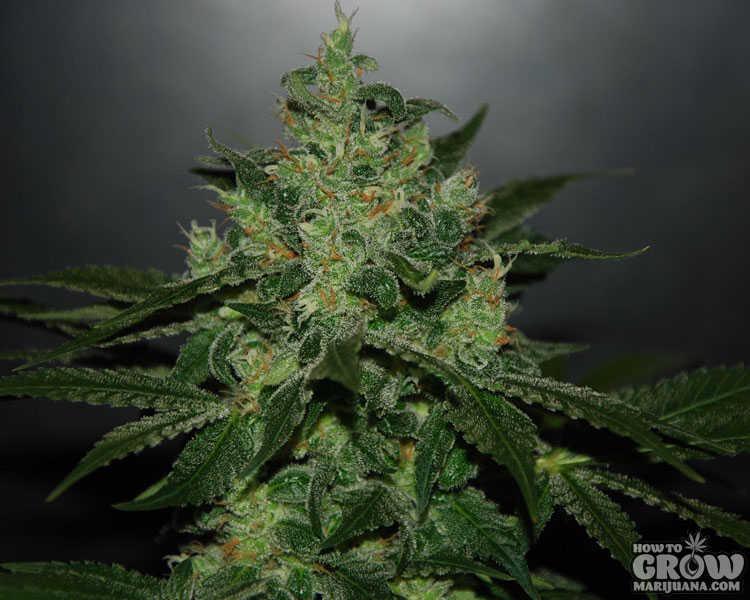 Delicious Critical Jack Herer Autoflowering Feminized Seeds