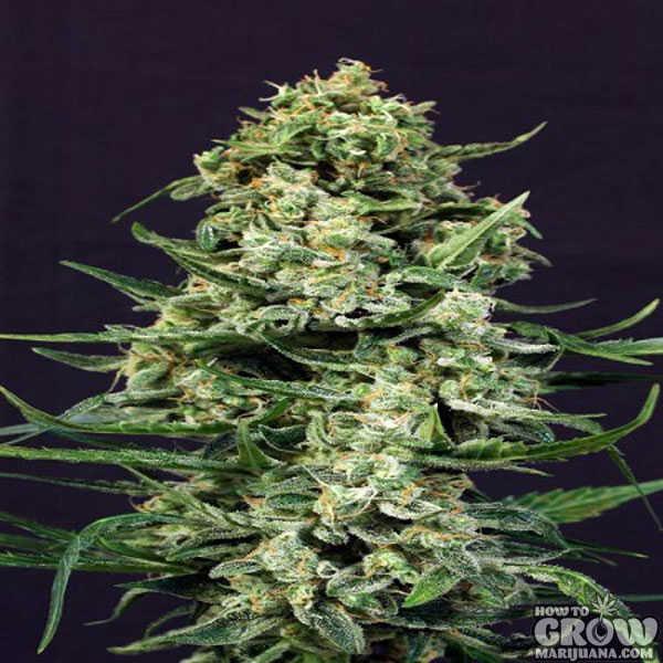 Exotic Sir Jack Autoflowering Feminized Seeds