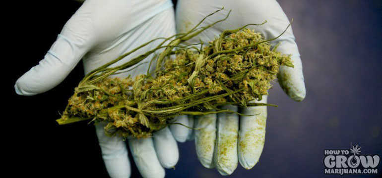 Federally Funded Marijuana Research Bud