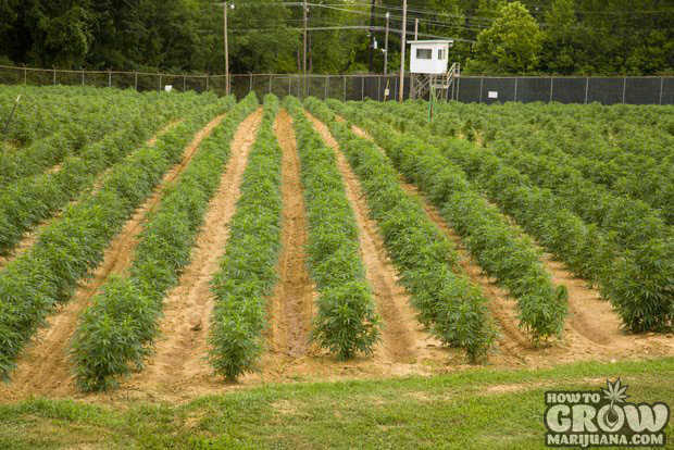 Field of Marijuana at the University of Mississippi