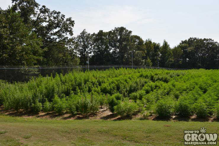 University of Mississippi Cannabis Farm