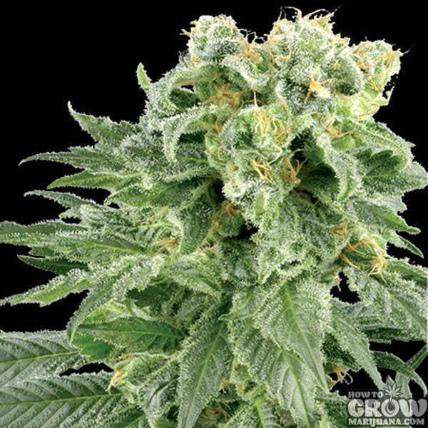 Vision – Bubble Yum Feminized Seeds