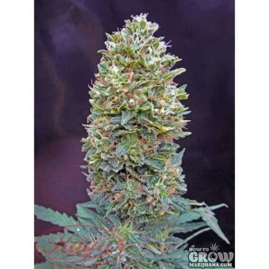 00 Bubblegum Feminized Seeds