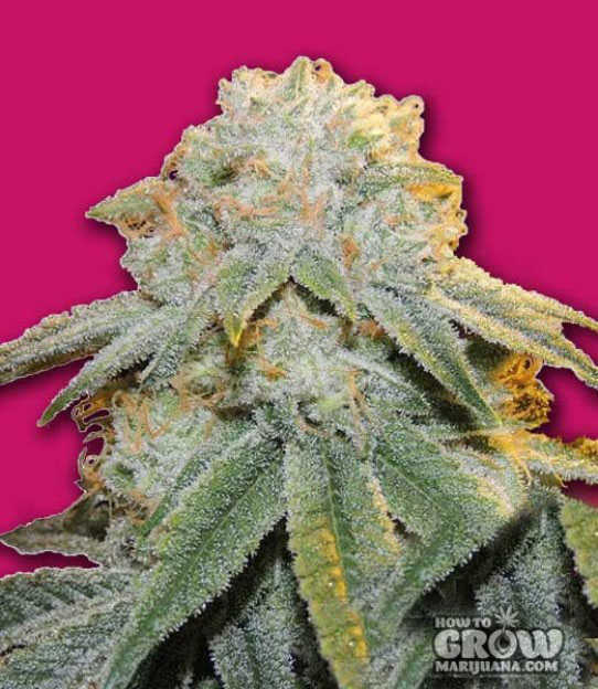 Bomb Bubble Bomb Feminized Seeds