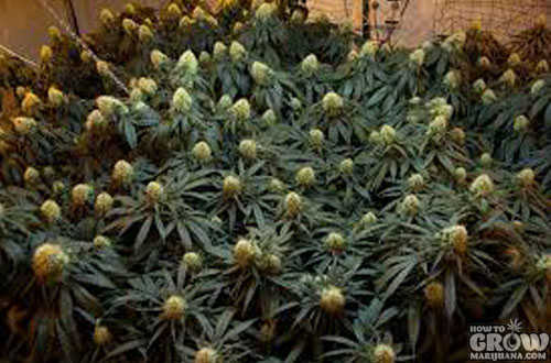 Bubble Gum Cannabis Seeds Flowering
