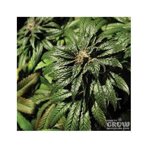 Bulldog Bubblegum Kush Feminized Seeds