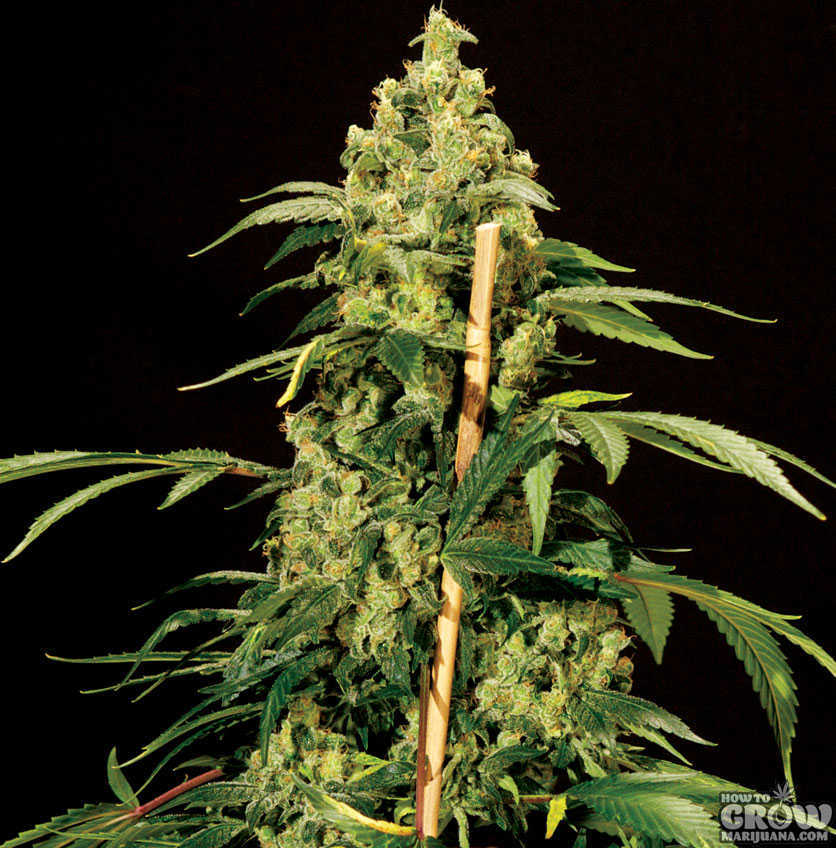 Bulldog Jack Herer Feminized Seeds