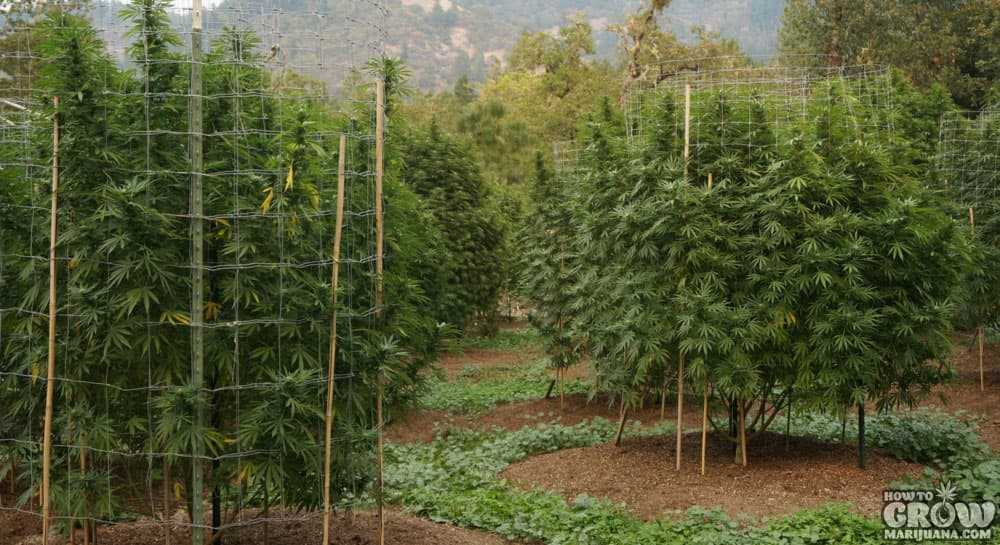 Companion Planting To Grow Healthy Marijuana