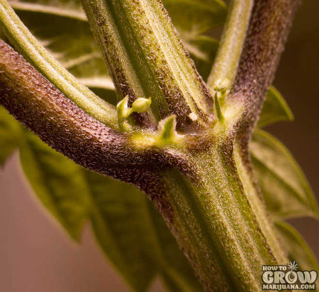 12 Marijuana Growing Myths