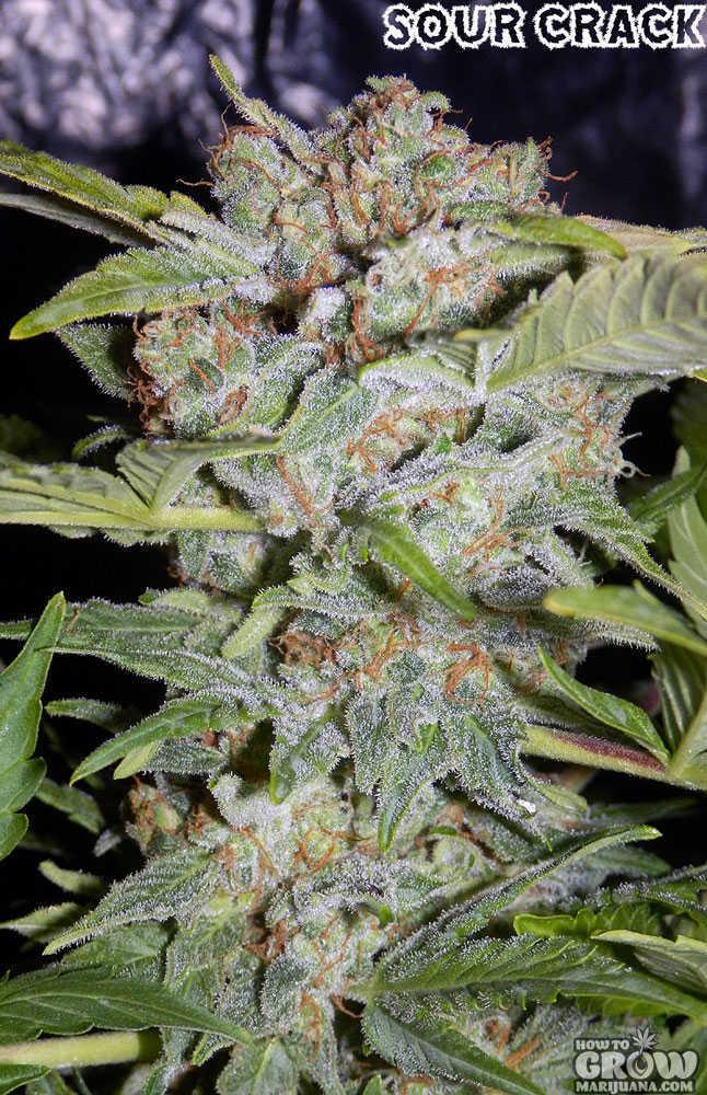 Mephisto Genetics Sour Crack Autoflowering Feminized Seeds