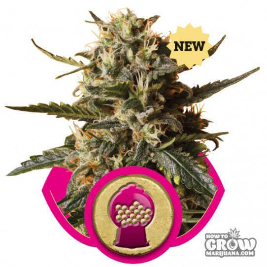 Royal Queen Bubblegum XL Seeds