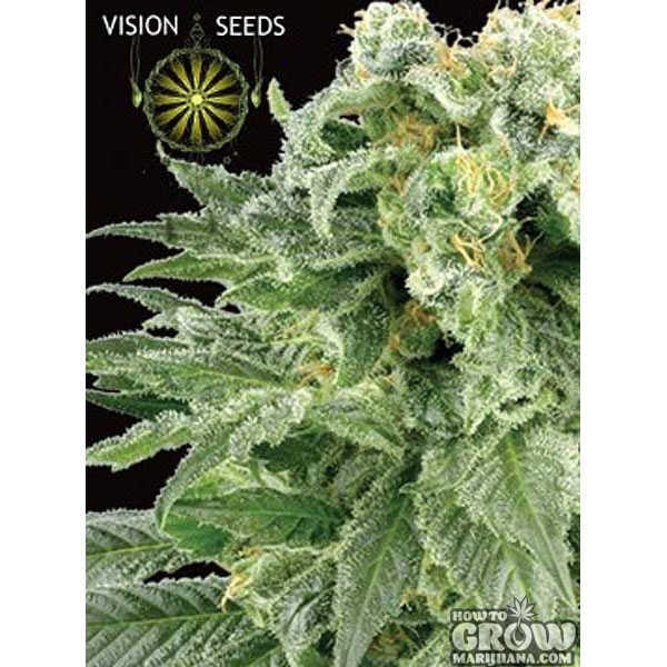Vision Bubble Yum Feminized Seeds