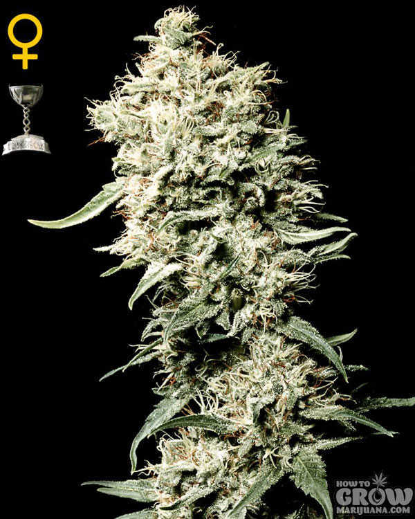 Green House White Rhino Feminized Seeds