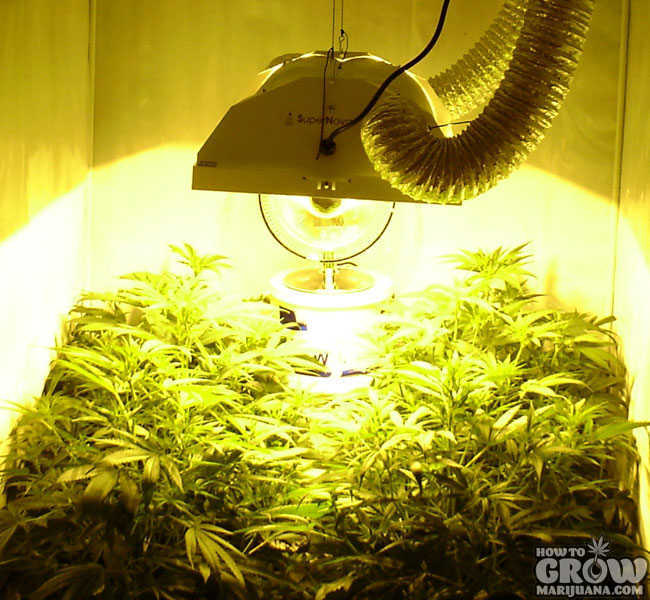 HPS Grow Light Over Marijuana Canopy