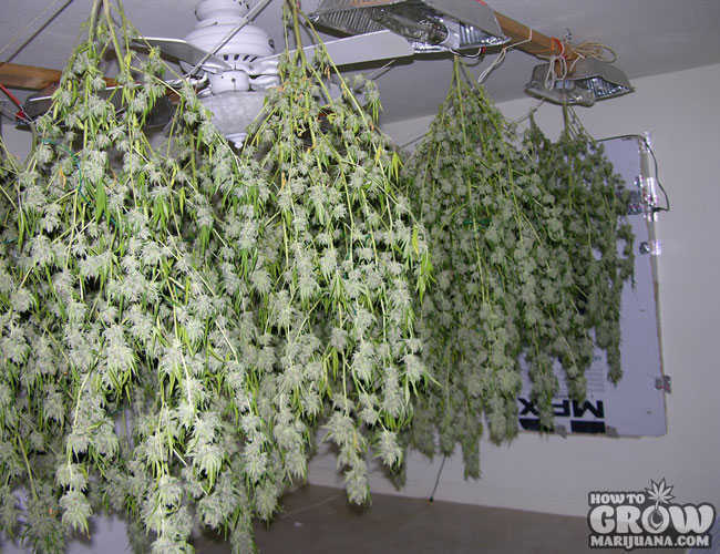Hanging Cannabis to Dry
